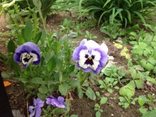 Volunteer Pansy