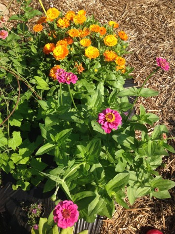 Zinnia and Calendula from seed