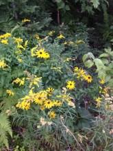 wild rudbeckia