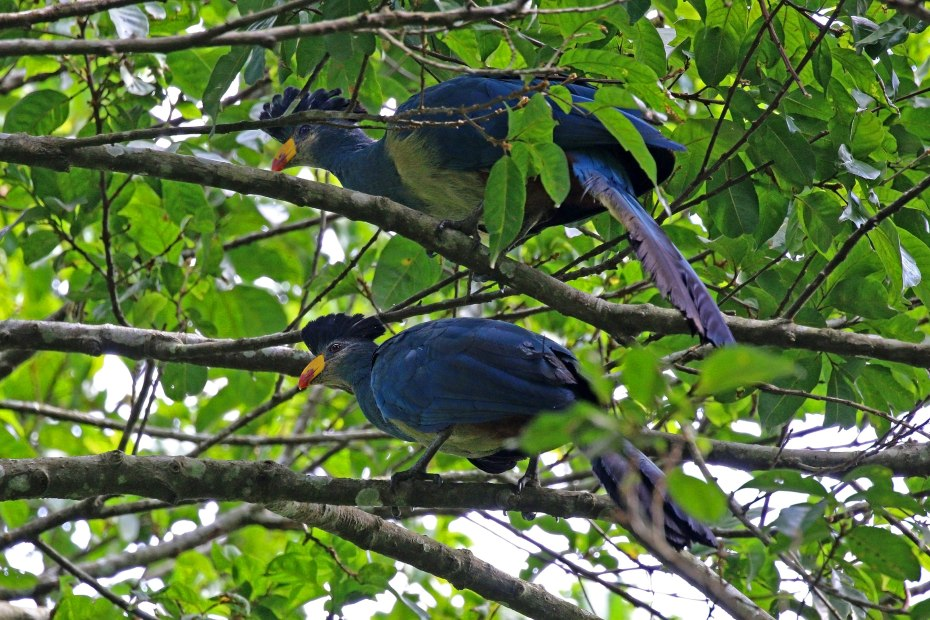 Great blue turaco (Corythaeola cristata), Kibale Forest, Uganda