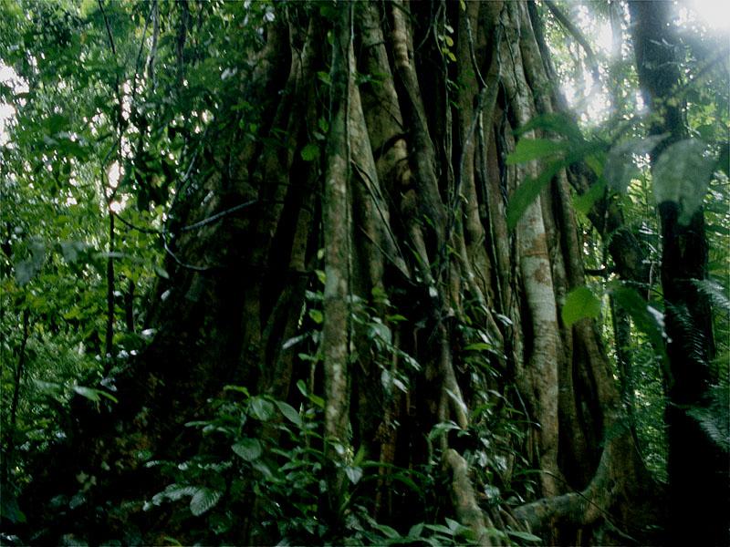 Strangler fig (Ficus sp.) in jungle with vines Sumatra, Indonesia