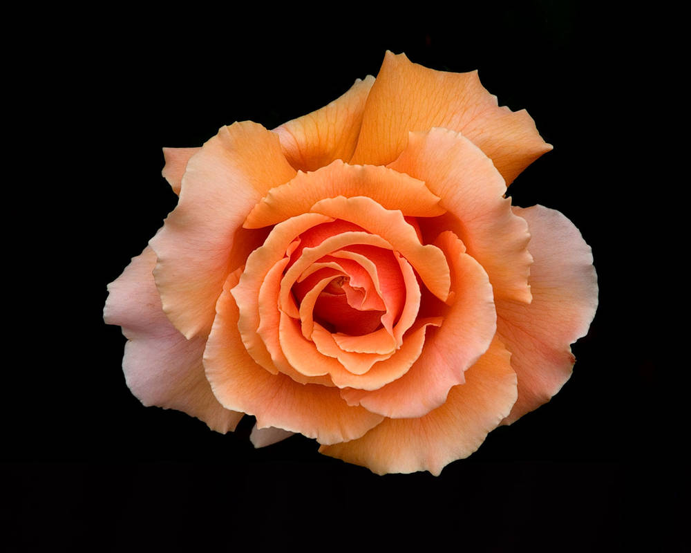 Spiral petals of a rose. The Beauty of Life's Unfolding photo by Paul Schaafsma.