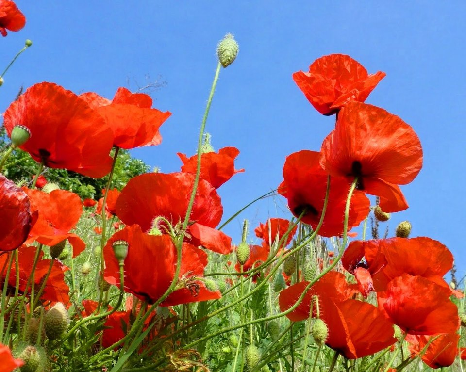 bunches-poppy-flower