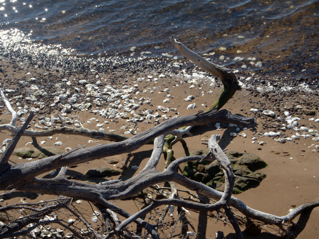 Dead tree branches and oyster shell middens on the foreshore adjacent to the Royal Tasmanian Botanical Gardens