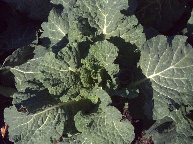 Brassica growing in the food garden, Royal Tasmanian Botanical