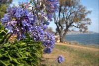 Agapanthas flowers at Tranmere