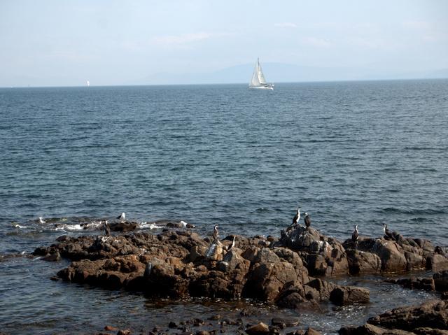 Shags on a rock watching a yacht