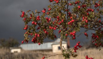 Rosehips are a sure sign that autumn has arrived in Tasmania's Derwent Valley