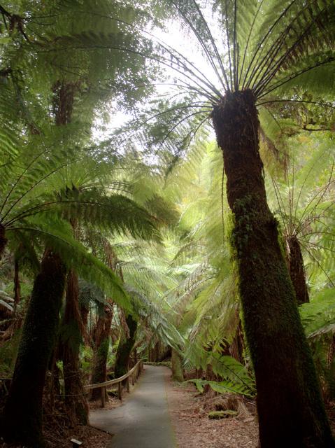 Tree ferns (Dicksonia antarctica) near Russell Falls, Mount Field National Park