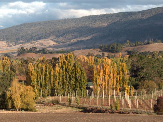 Poplars are used as windbreaks around hopfields at Bushy Park in southern Tasmania