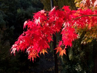 Autumn leaves at South Hobart's Cascade Gardens