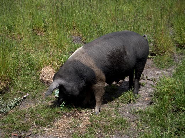 Denise the Saddleback Pig
