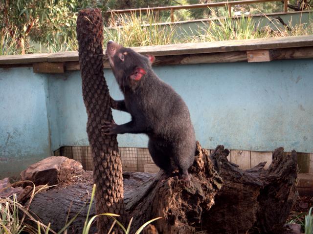 Tasmanian devil at Bonorong Wildlife Sanctuary