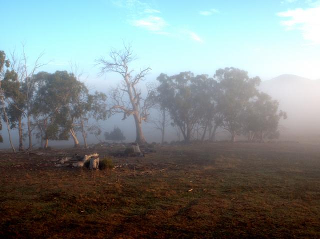 Old gum trees through the morning mist at Curringa Farm, Hamilton