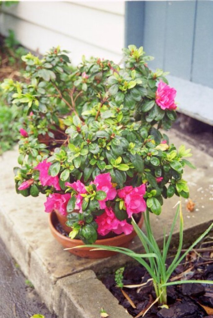 Potted azalea in the courtyard