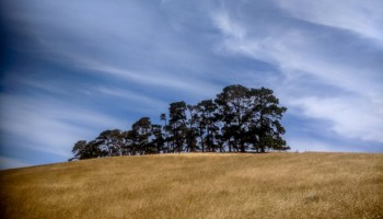I know they are an introduced species, but I do love seeing stands of these )I think) macrocarpa widbreaks where they survive. They are a defining element of Tasmania's rural landscape, one that is rapidly disappearing as the aging trees are removed