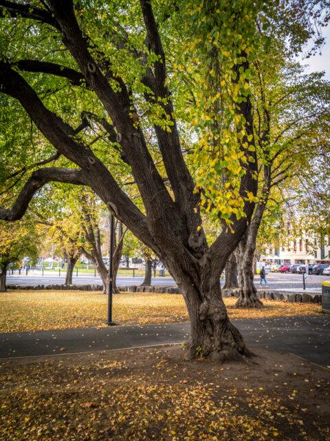 Autumn leaves in Parliament Gardens, Hobart