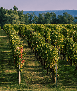 Conheça a história da uva Malbec