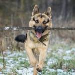 german-shepherd-3101439_960_720