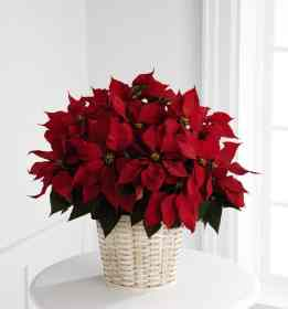 TOP 10 Year Round Care Tips for Christmas Poinsettias