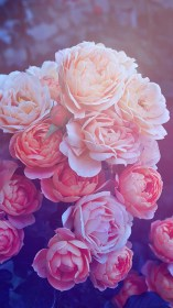 galaxy pretty wallpapers pink iphone roses