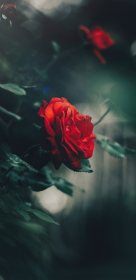 rose wallpapers aesthetic background google iphone xl roses hd mobile backgrounds garden bud flower pixel flowers blur bush quality scripture