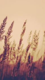 Nature Aesthetic Reed Plant Field Blur iPhone 8 Wallpapers