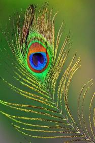 PEACOCK FEATHER in 2020 Peacock painting, Peacock art
