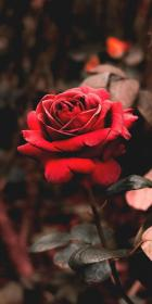 aesthetic rose grunge roses iphone flower backgrounds flowers android nature