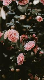 roses rose pink flowers aesthetic iphone flower wallpapers these pretty phone ideawallpapers jazz