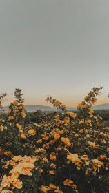 aesthetic yellow flower nature backgrounds screen lockscreens views sunset flowers pastel filter wallpapers film iphone