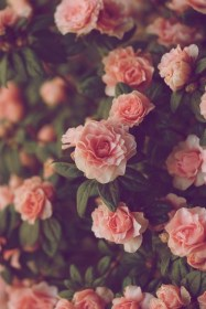 roses background rose pink flower flowers iphone wallpapers phone backgrounds pantalla fondos romanticos cool hipster nature aesthetic floral terms flores
