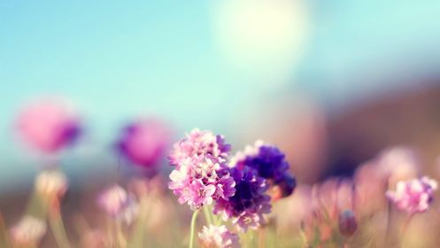 Flowers Field Nature Sunny Mac Wallpaper Download