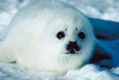 things why animals seal marine harp animal howstuffworks arctic cuteness human seals animales pup creatures