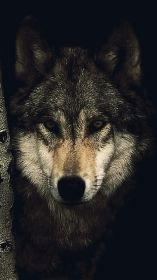 wolf iphone hd wallpapers wallpaperaccess backgrounds