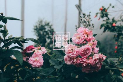 aesthetic rose wallpapers roses cave