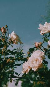 aesthetic roses wallpapers pink sweet