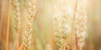 6 Dicas Sobre Plantação De Trigo