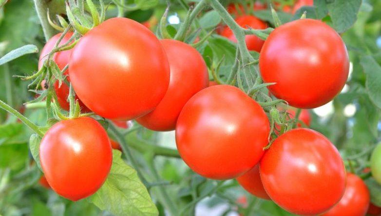 7 правил, позволяющих собрать богатый урожай помидоров