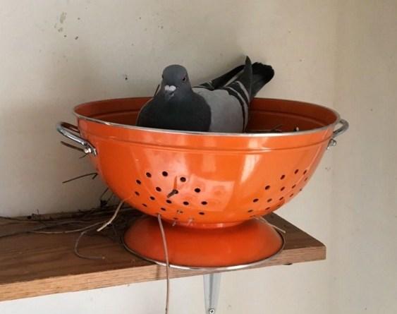 Пока хозяйки не было дома, голубь захватил её жильё!