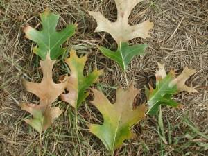 Leaves showing signs of oak wilt diesease.