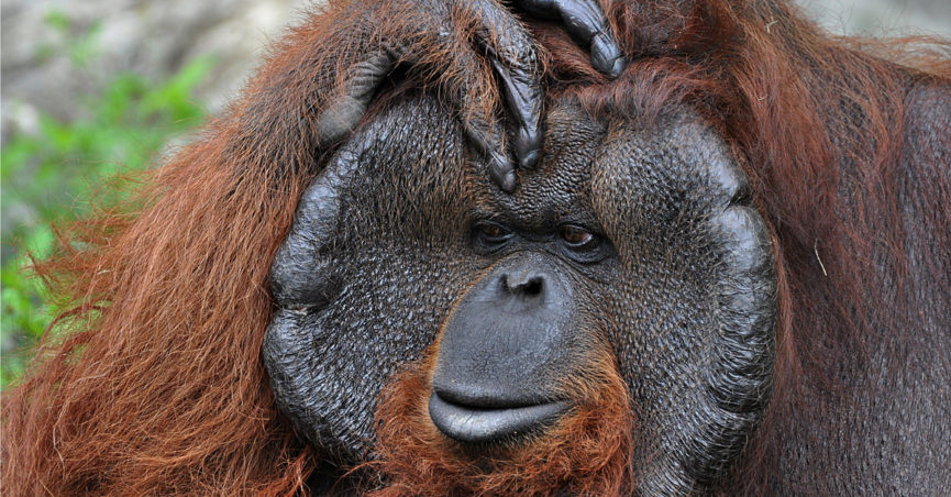 Tourist Savagely Raped By 400 Pound Orangutan