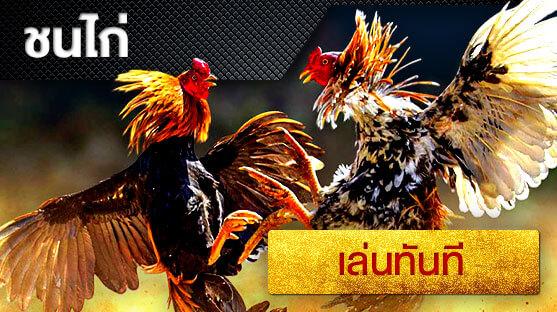 เว็บพนัน ออนไลน์ ไก่ชน (rooster fighting) คาสิโนออนไลน์ พนันออนไลน์ เว็บการพนัน Nowbet Asia