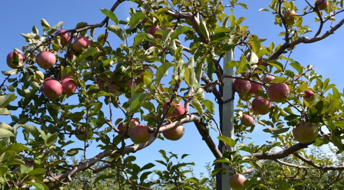 Apple Picking at Wasem Fruit Farm!