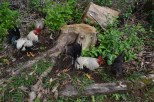 Chickens along the trail