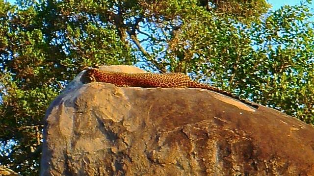Ce léopard a dû bosser toute la nuit!
