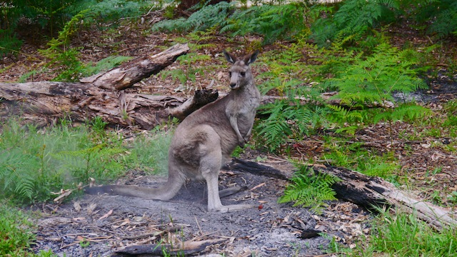 australie kangourou