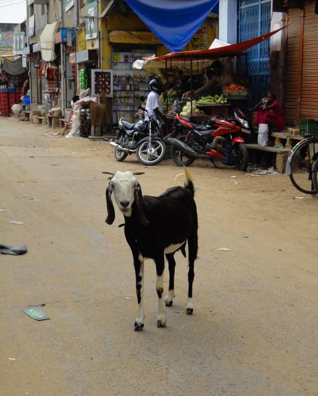 Ne venez pas en Inde si vous avez peur des chèvres, lol!