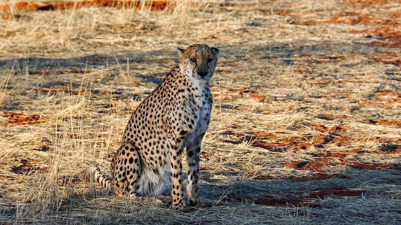 cheetah-1170149_1280