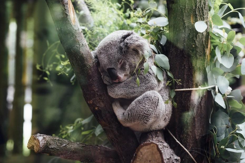 voir des animaux en liberté en australie : un koala mignon comme tout